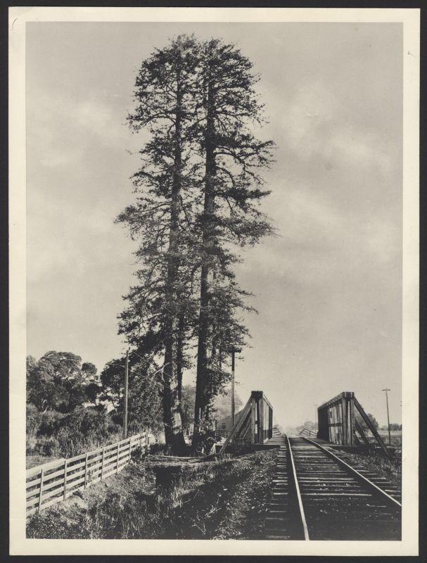 Palo Alto tree -- twin trunk