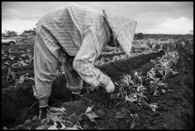 A farm worker from Thailand plants sweet pototoes on a small farm on Hawaii's big island