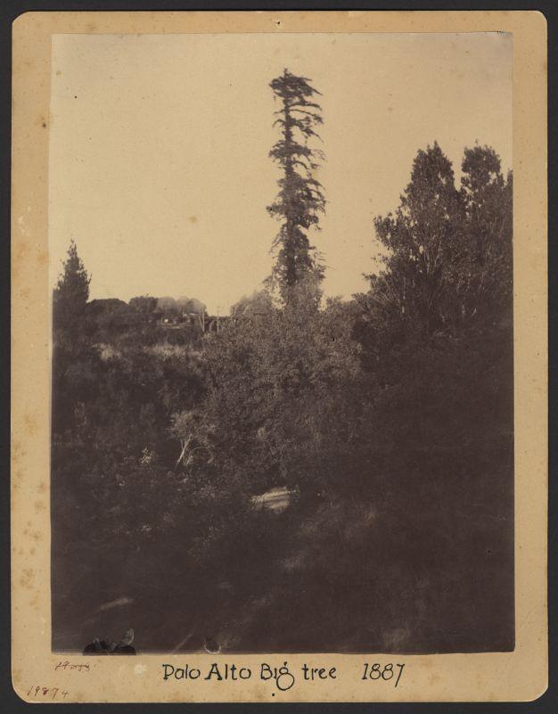 Palo Alto tree -- single trunk