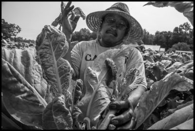 Manuel Buendia, a farm worker from Alamo in the state of Veracruz, Mexico, trims the tops of tobacco plants so that the leaves will grow larger