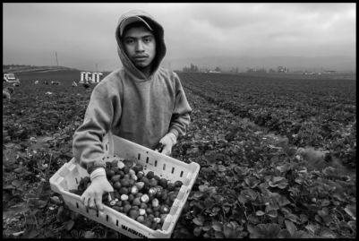 Salomon Sarita Sanchez picks strawberries in a crew of Mixtec migrants from Oaxaca