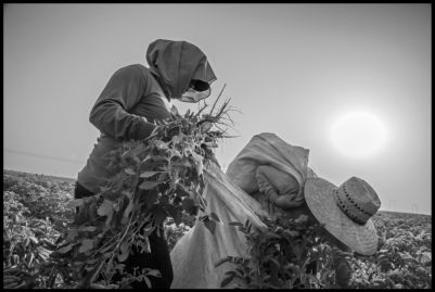 Two farm workers pull weeds in a field of organic potatoes