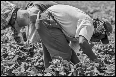 A farmworker picks strawberries, bent over double all day